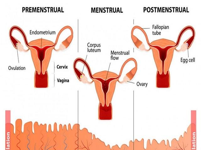 ciclo mestruale fasi